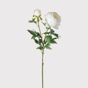 White full bloom peony